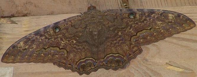 Black_witch_moth